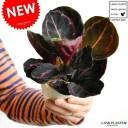 【お試し】 カラテア(ドッティ) 白色 プラスチック鉢 4号 ドッティー ビッティ Calathea orbifolia クズウコン 敬老の日 ポイント消化 観葉植物