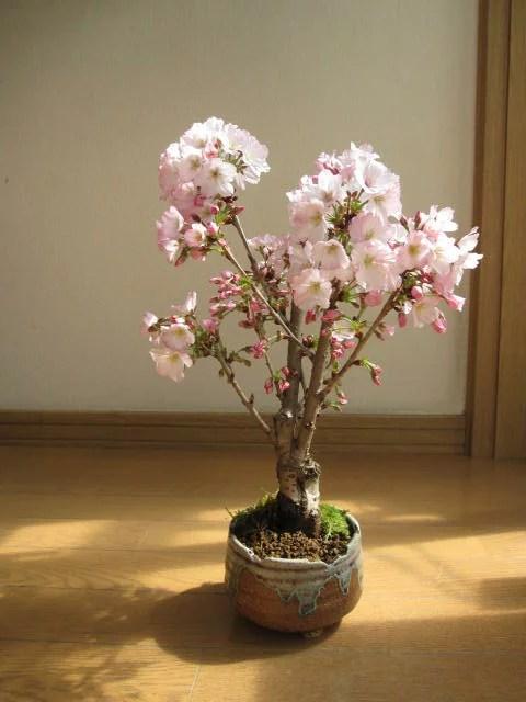 さくら盆栽4月に開花】母の日ギフトに自宅でお花見を楽しむ御殿場桜盆栽母の日ギフト