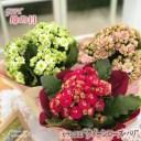 母の日 ギフト カランコエ クイーンローズ パリ 4号鉢 送料無料 贈り物 プレゼント 花 鉢植え 母の日2021