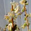 ニンドウ 冬咲き 苗木 スイカズラ ロニセラ・フラグランテシマ 香りの花 花木 4号ポット 0209