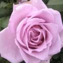 【アウトレット】苗B バラ苗 ブルームーン 6号スリット鉢ハイブリッドティー (HT) 四季咲き大輪 紫系