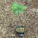 (1ポット)サンショウ 10.5cmポット苗 樹木苗/香辛料/山椒/雄雌選別前の幼苗/※4/10まだ芽吹いていません