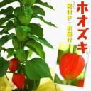 ほおずき ( ホオズキ ) 5号鉢植え 《 実付き 》