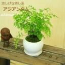 観葉植物:アジアンタム*モダンホワイト陶器鉢14cm(受け皿付)苔付き