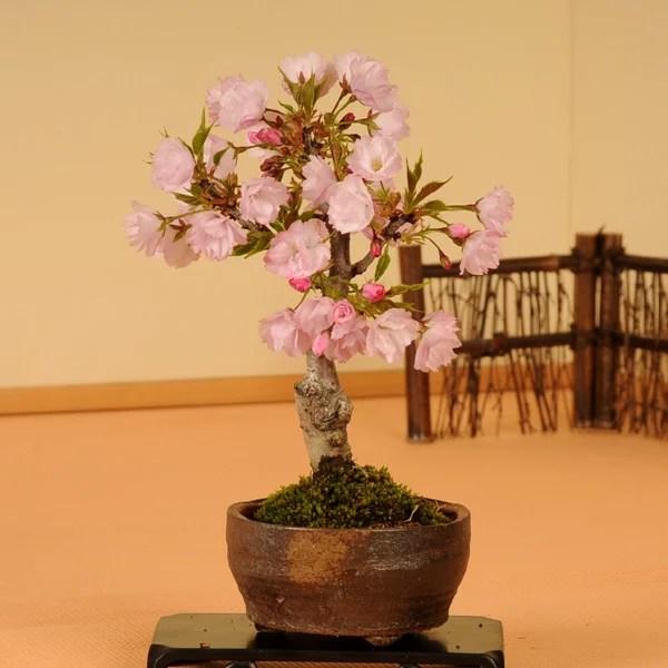 【まだ間に合う 敬老の日 ギフト】【あす楽 】◇楽天1位◇桜盆栽:一才桜(信楽焼