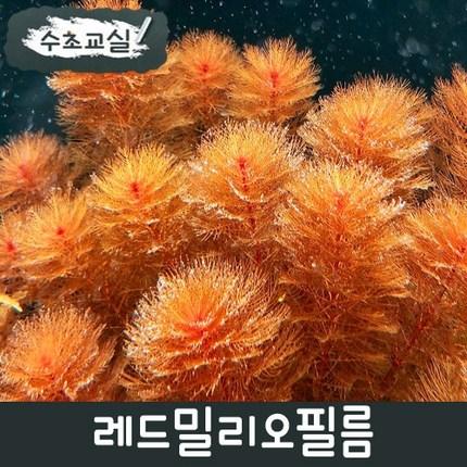 [수초교실] 초보용수초 레드밀리오필름 키우기쉬운수초, 5촉
