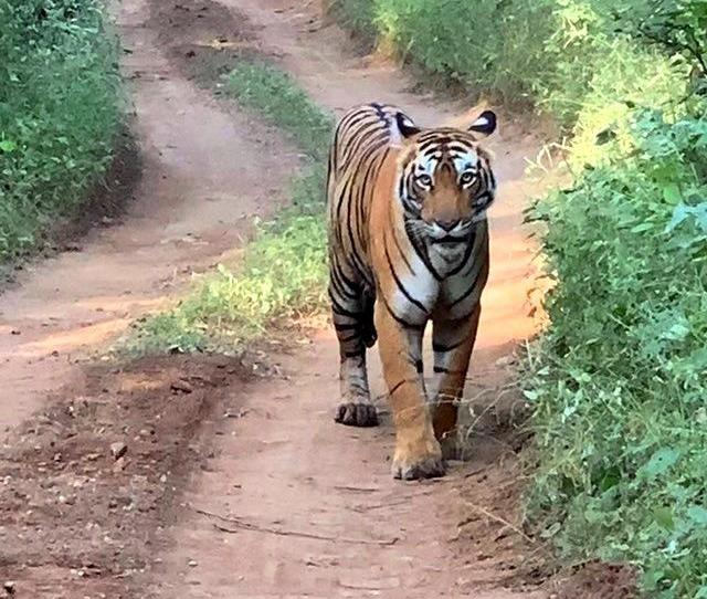 Tracking Wild Tigers In Ranthambore National Park A Luxury