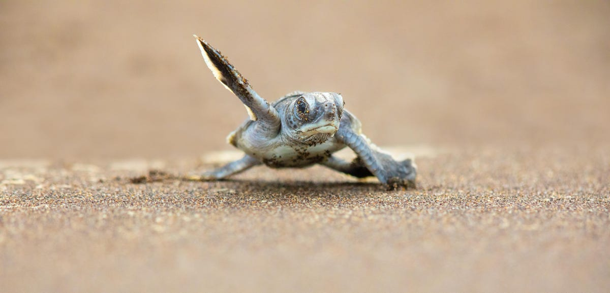 Covid 19 Travel Restrictions Are Further Endangering Sea Turtles How To Help