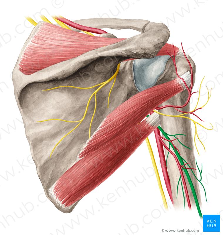Anconeus Muscle Anatomy