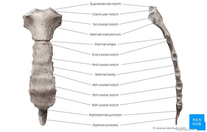 Sternum: Anatomy, parts, pain and diagram | Kenhub