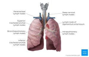 Lung: Anatomy, blood supply, innervation, functions | Kenhub