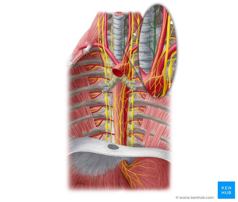 Anatomy Heart Borders