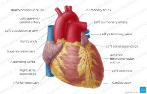 Diagram  Pictures: Anterior view of the heart (Anatomy