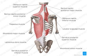Diagram  Pictures: Superficial muscles of the back (Anatomy) | Kenhub