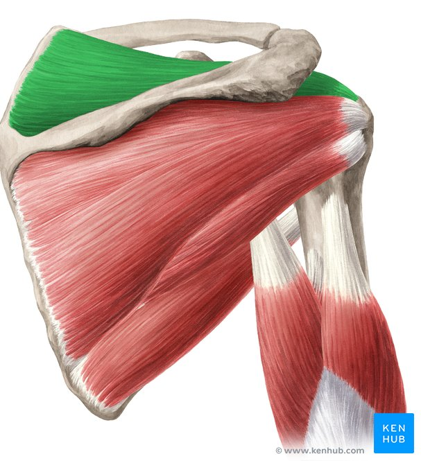 Color Ligamentum Teres