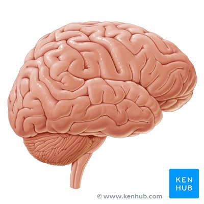 Cerebrum And Cerebral Cortex Anatomy And Function Kenhub