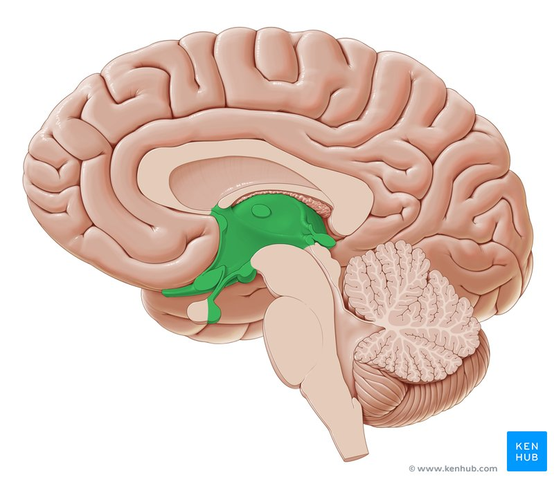 Diencephalon: Anatomy and function   Kenhub