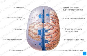 Diagram  Pictures: Meninges of the brain (Anatomy)   Kenhub