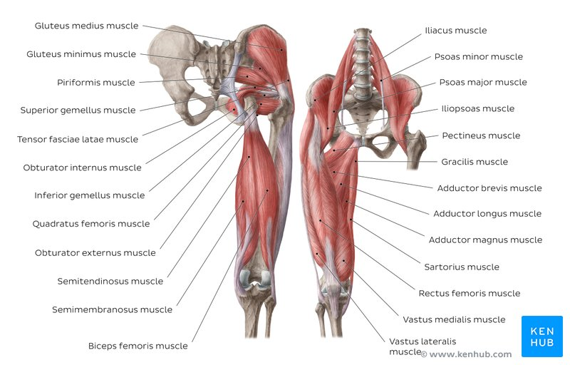 Learn All Muscles With Quizzes And Labeled Diagrams