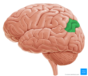 Angular gyrus - lateral-left view