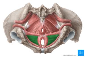 Perineal region  Anatomy, Definition, Diagram   Kenhub