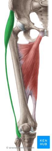 Musculus tensor fasciae latae / Schenkelbindenspanner (ventrale Ansicht)