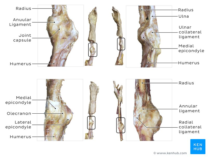 Elbow joint: Anatomy, ligaments, movements, blood supply ...