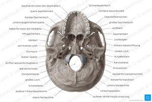 Bilder: Kaudale Ansicht der Schädelbasis (Anatomie)   Kenhub