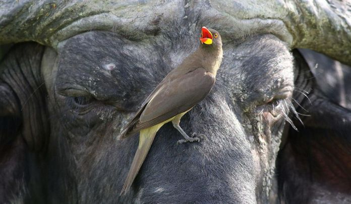 Oxpeckers have sinister symbiotic relationships with their hosts.