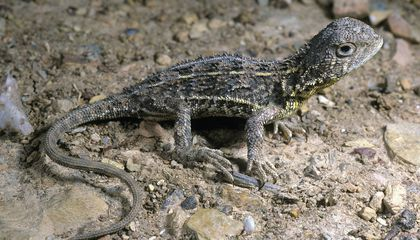 Australia Has Several New Dragon Lizard Species—and One May Already Be Extinct