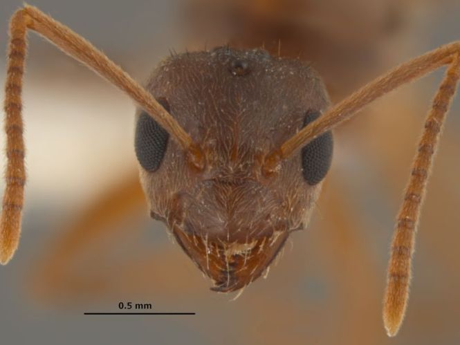 Invasive Argentine Ants Have Spread Through The State Of California Over Last Century Arriving In 1907 With Human Westward Migration From Louisiana By