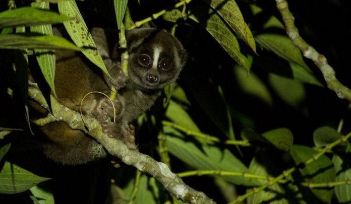 Slow lorises may look docile, but their bite packs a poisonous punch.