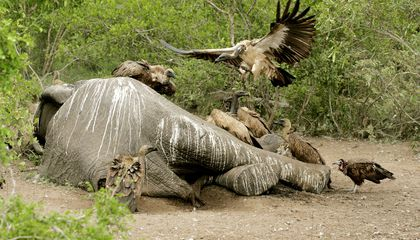 Poachers' Poison Kills 530 Endangered Vultures in Botswana