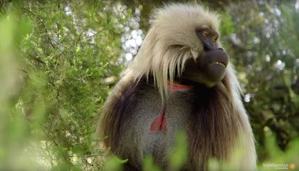 Are Gelada Cries the Closest Thing We Have to Human Speech?