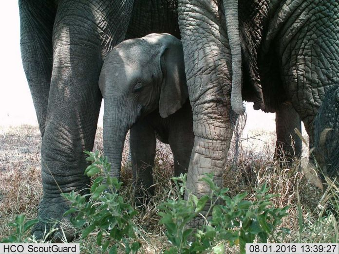 A baby elephant stands between the legs of an adult elephant.