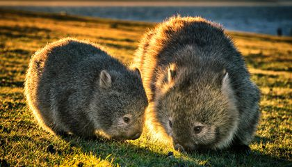 You Can Visit This Australian Island, but Only if You Pledge to Skip the Wombat Selfie