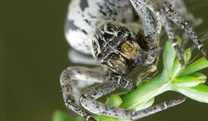 Stegodyphus lineatus spider moms become their babies' first meal.