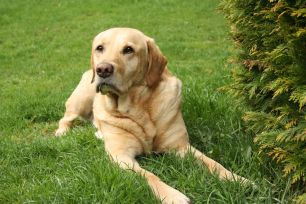 Labrador Tops Most Popular Dog Breed List for 29th Year in a Row ...