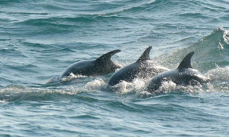 A pod of dolphins swimming through the open sea, all visible on the surface as they glide