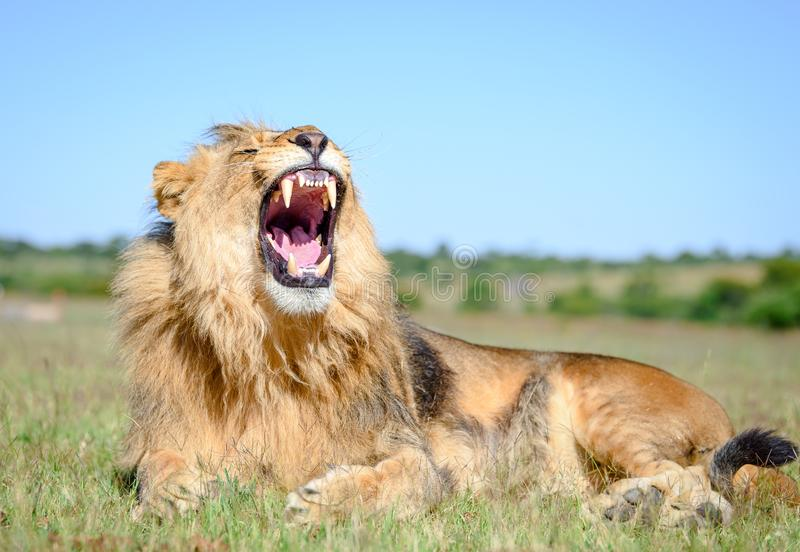 7 580 Lion Roar Photos Free Royalty Free Stock Photos From Dreamstime