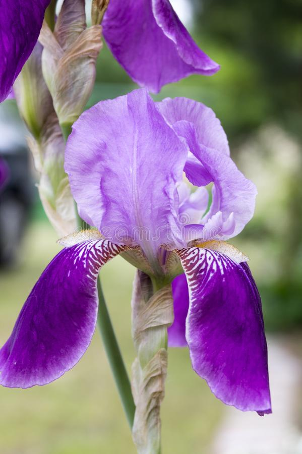 Bearded Iris Flower  Iris Germanica In Bloom Stock Image   Image of     Download Bearded Iris Flower  Iris Germanica In Bloom Stock Image   Image  of blue