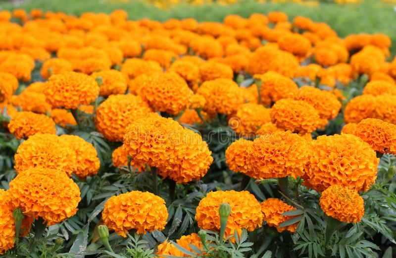Beautiful Orange Colors Of Marigold Flowers In Garden With Blur     Download Beautiful Orange Colors Of Marigold Flowers In Garden With Blur  Background Stock Image   Image