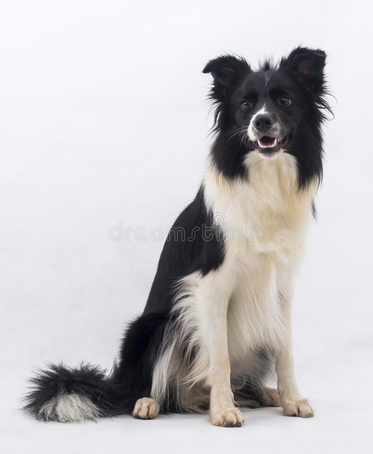 And Black Black White Together And Cat Border Mix Collie