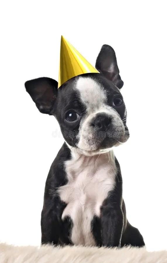 Boston Terrier Birthday Photos Free Royalty Free Stock Photos From Dreamstime