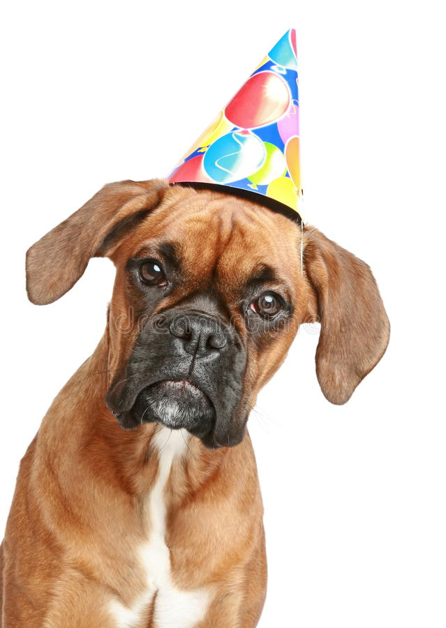Boxer In A Party Hat Stock Image Image Of Birthday Boxer 18897829