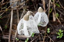 「Dictyophora indusiata」の画像検索結果