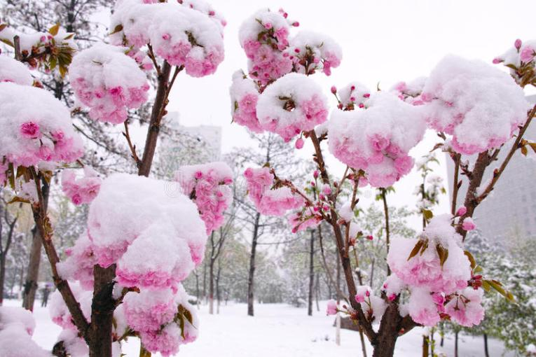 Flower and snow stock photo  Image of cold  frigid  bloom   30546768 Download Flower and snow stock photo  Image of cold  frigid  bloom    30546768