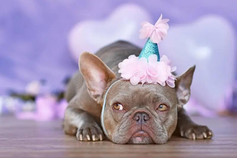 510 Happy Birthday French Bulldog Photos Free Royalty Free Stock Photos From Dreamstime