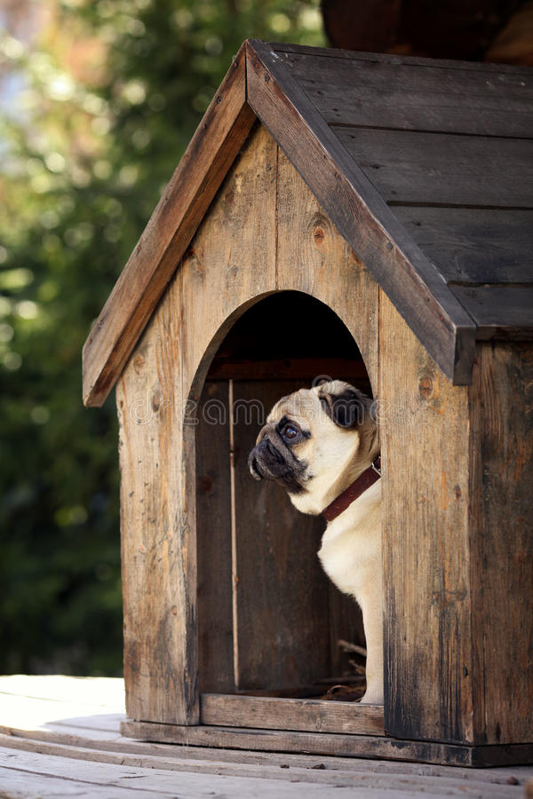 Funny Pug Dog In The Dog House Stock Image Image Of