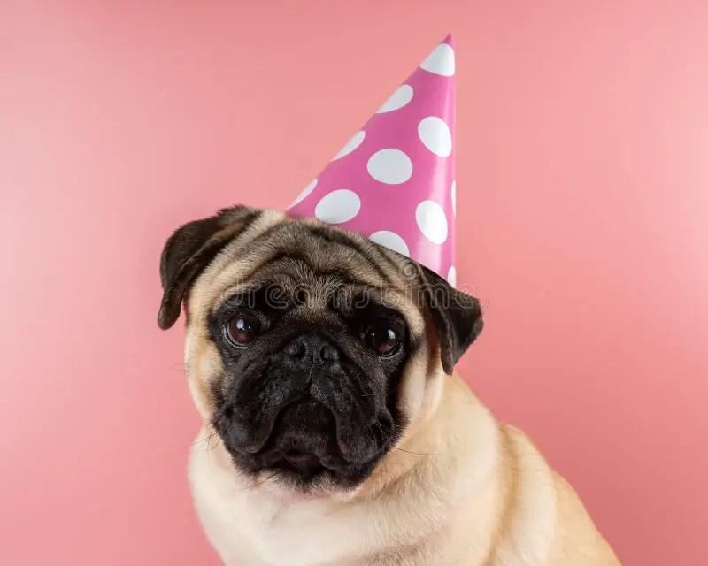 791 Birthday Pug Photos Free Royalty Free Stock Photos From Dreamstime